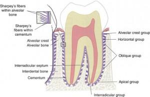 繊維歯根膜