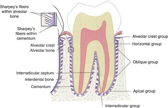 「炎症性物質の除去 歯根膜」の画像検索結果